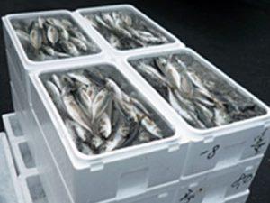 千葉県 活魚卸問屋ヤマトグループ様 魚