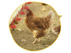 活水器ディレカ導入で心身ともに健康な鶏