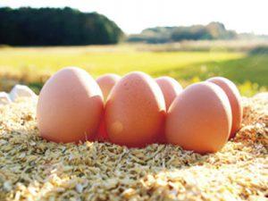元気な鶏が産んだ卵